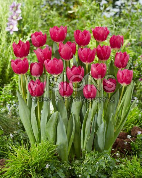 Tulipa Galibier