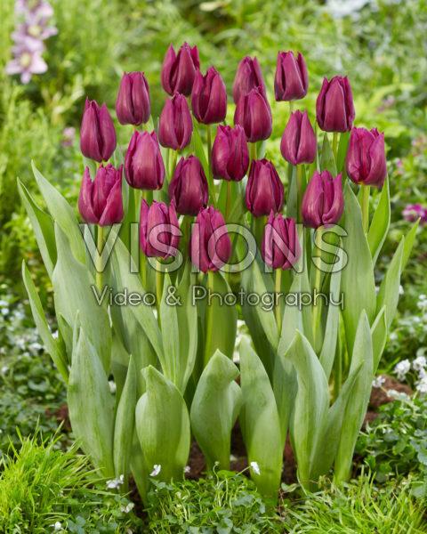 Tulipa Purple Valley