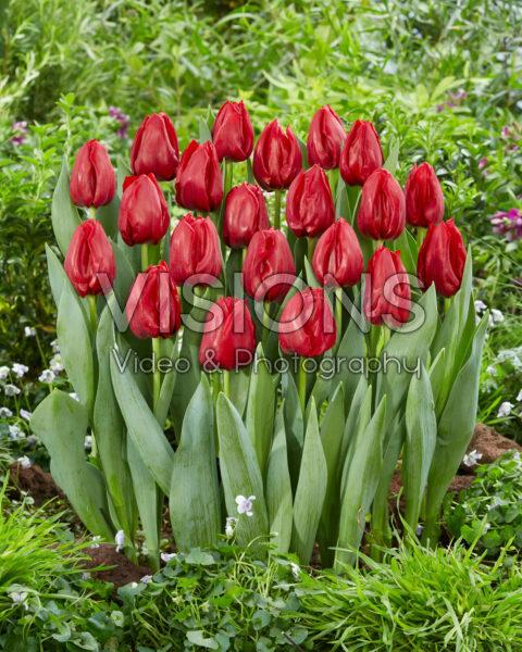Tulipa Seadov