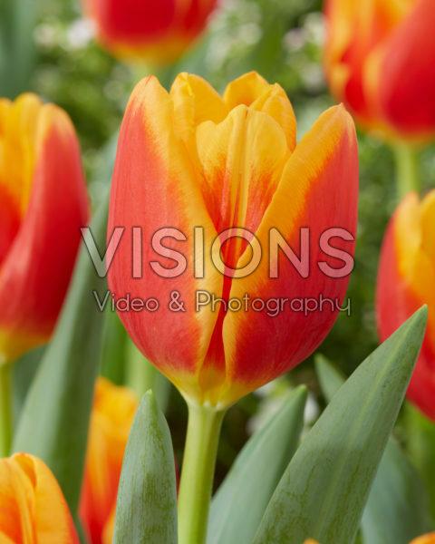 Tulipa Carpe Diem