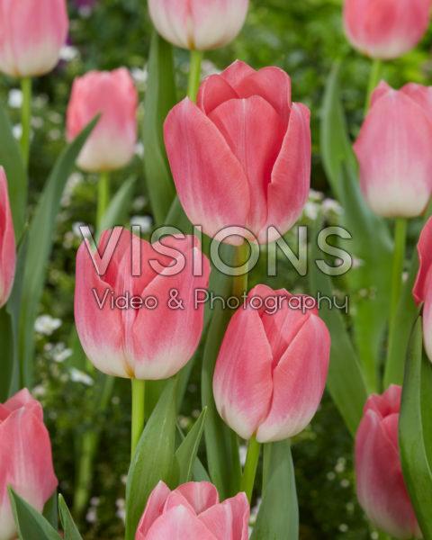 Tulipa-dynastie