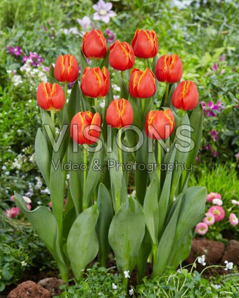Tulipa Esta Bonita