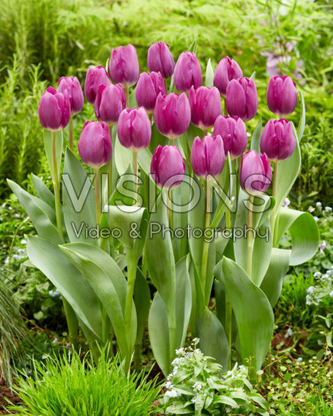 Tulipa Roeska