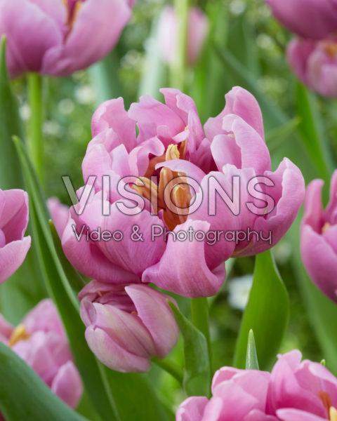 Tulipa Kickstart