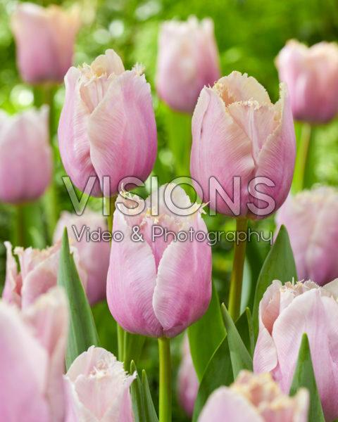 Tulipa Versailles