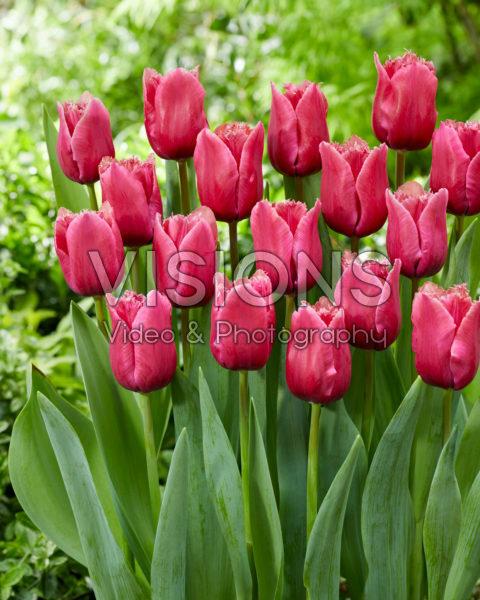 Tulipa Arc de Triomphe