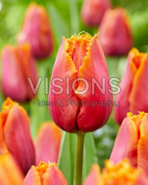 Tulipa Louvre Orange