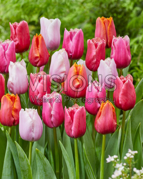 Tulipa Fringed Mix