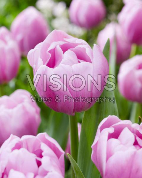 Tulipa Hurricane