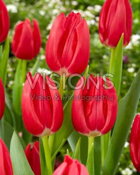 Tulipa Rodolfo