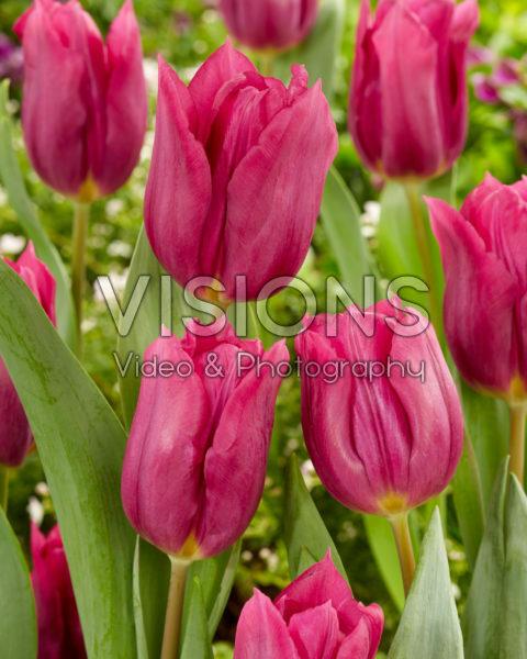 Tulipa Rogina