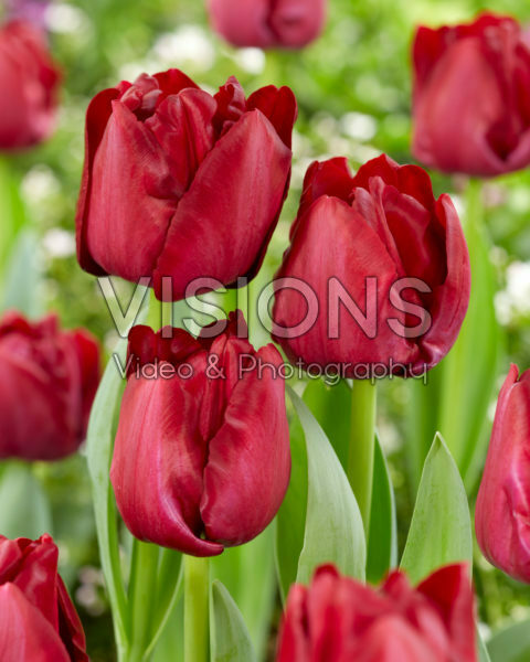 Tulipa Red Saigon
