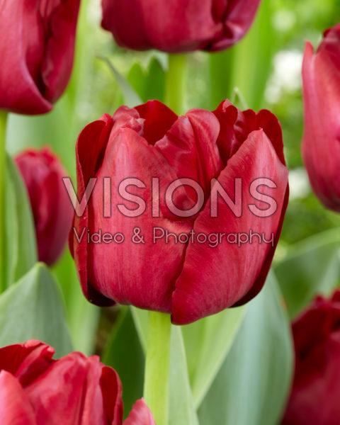 Tulipa Red Saigon