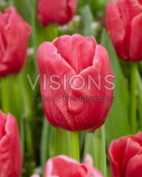 Tulipa Moneypenny