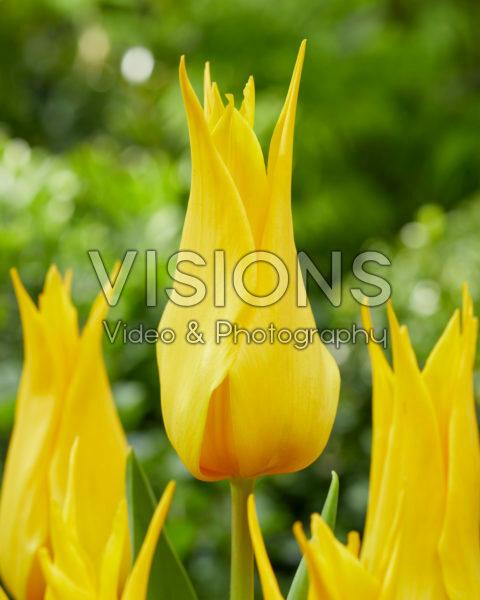 Tulipa 556-525-03-2001