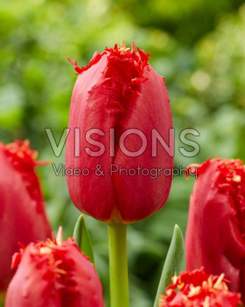 Tulipa 277-445-99-1736