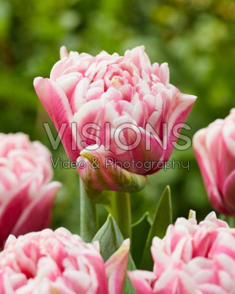 Tulipa 486-499-01-1900