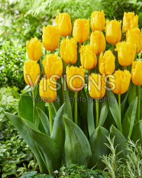Tulipa Golden State