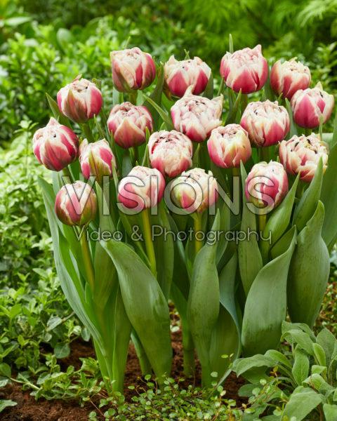 Tulipa 518-452-01-1803