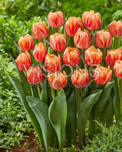 Tulipa 499-513-01-1916