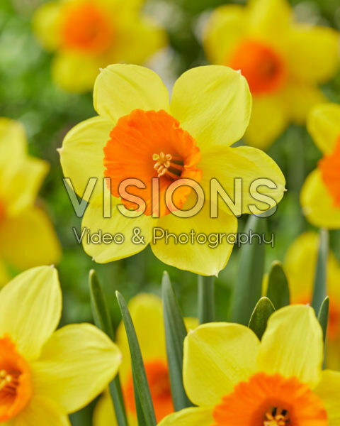 Narcissus Loveday