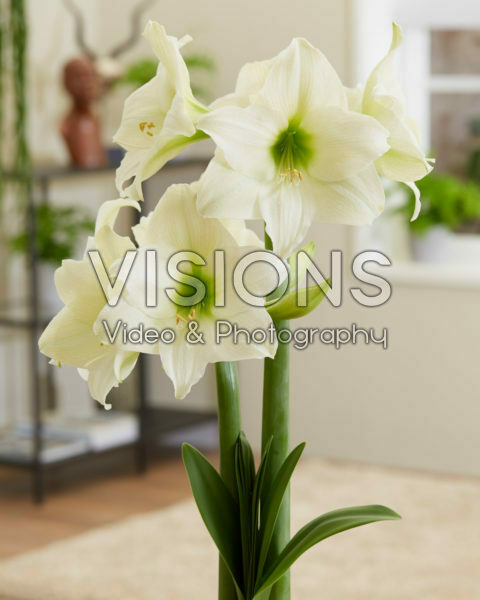 Hippeastrum White Queen
