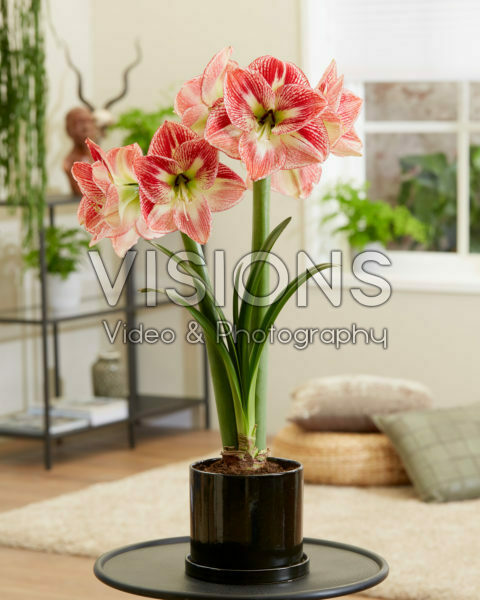 Hippeastrum Spotted Queen