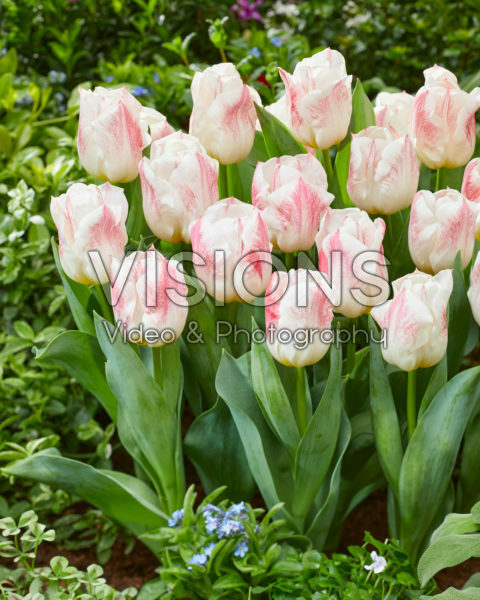 Tulipa Calgary Sensation