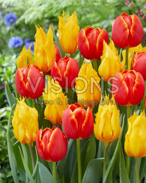 Tulipa Esta Bonita, Yellow Fire