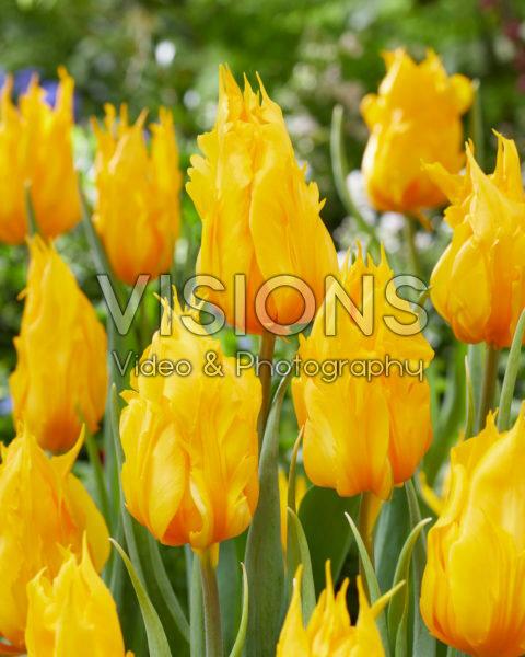 Tulipa Yellow Fire