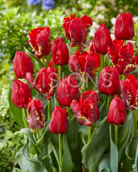 Tulipa Seadov, Seadov Parrot