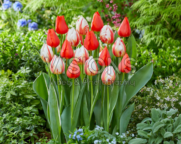 Tulipa Happy Generation, Enzo