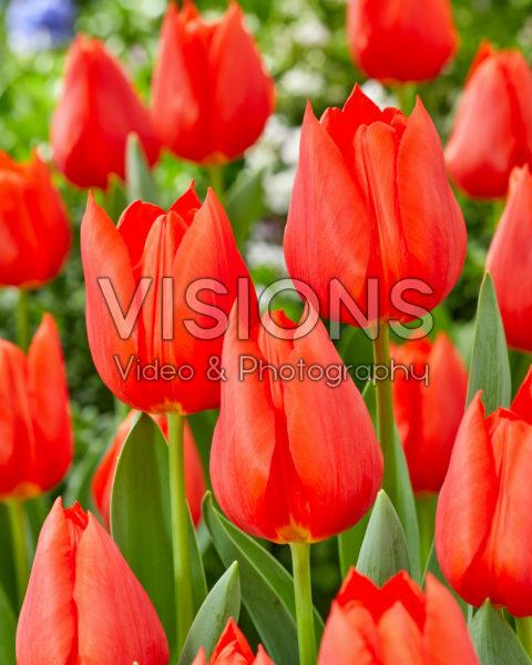 Tulipa Enzo