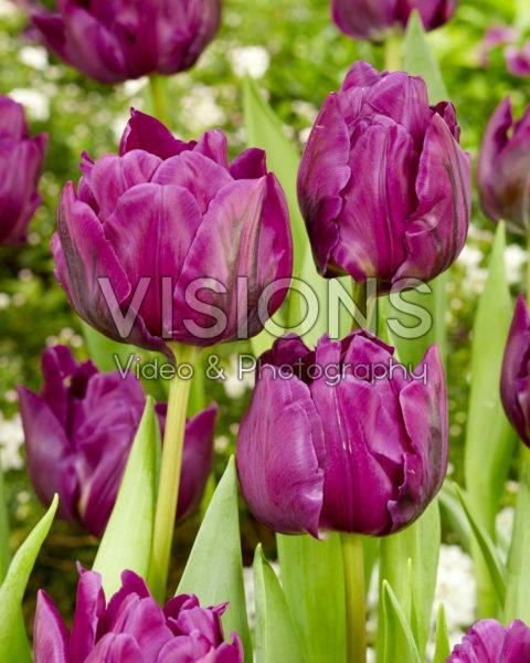 Tulipa Negrita Double