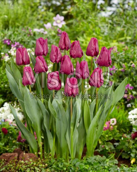 Tulipa Special Rider