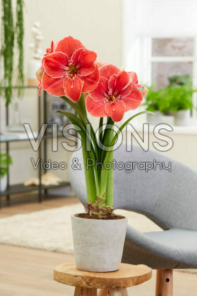 Hippeastrum Magical Touch