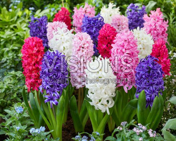 Hyacinthus colour mix