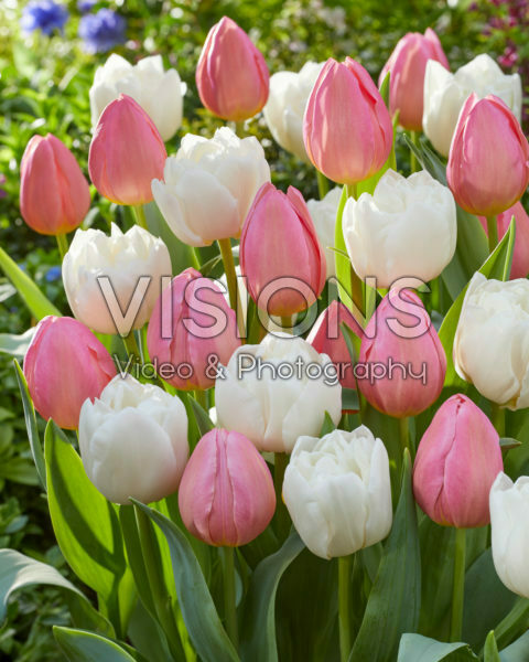 Tulipa White Heart, Salmon Dream