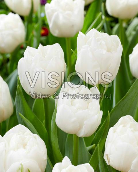 Tulipa White Heart