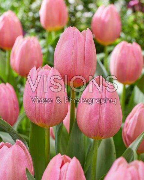 Tulipa Salmon Dream