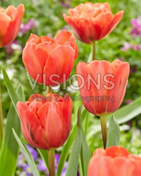 Tulipa Double Red