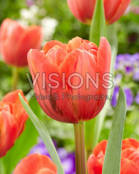 Tulipa Double Red
