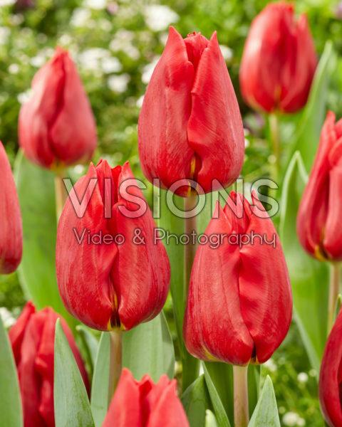 Tulipa Scarlet Flight