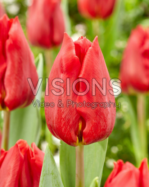 Tulipa Scarlet Flight