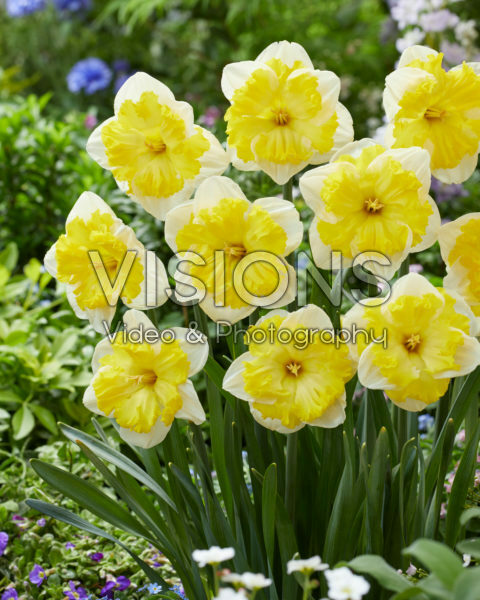 Narciussus Printal