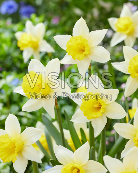 Narcissus January Gold