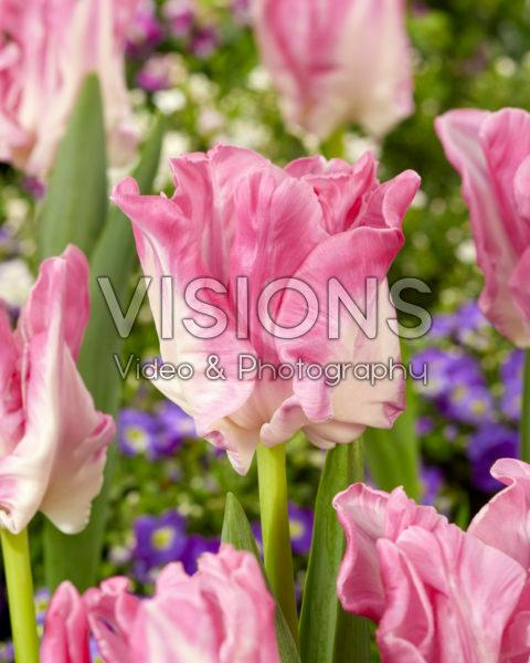 Tulipa Manila