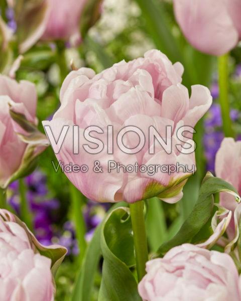 Tulipa Gabriella Double
