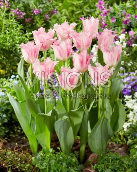 Tulipa Haïti