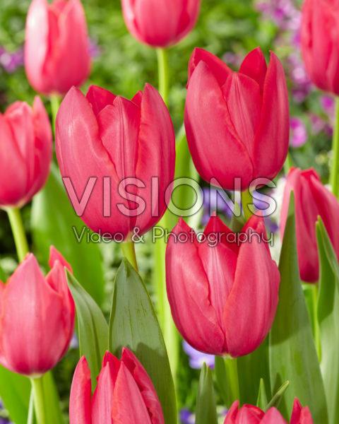 Tulipa Yosemite